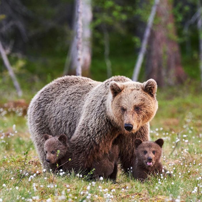Bear Spirit Animal Meaning
