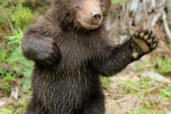 Bear Spirit Animal