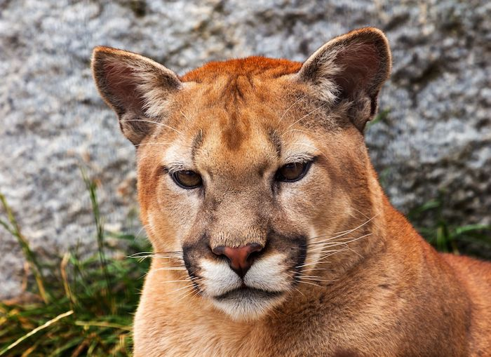 Cougar Spirit Animal
