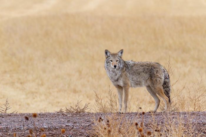 Coyote Spirit Animal Totem Meaning
