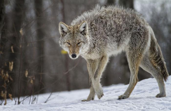 coyote teaching thüringen