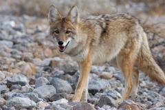 Coyote Spirit Animal