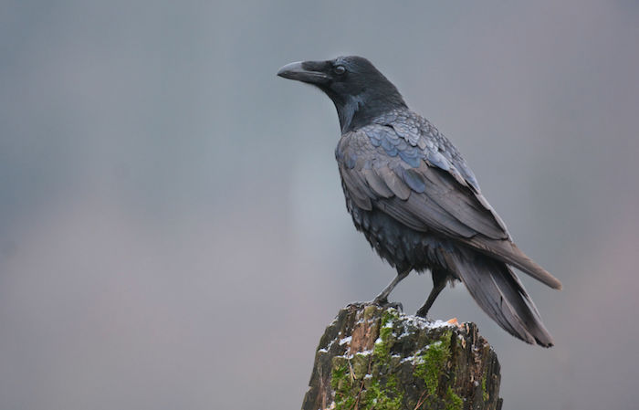 Crow Spirit Animal Meaning Symbolism