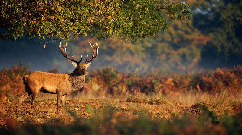 Deer Spirit Animal Deer Totem Meaning