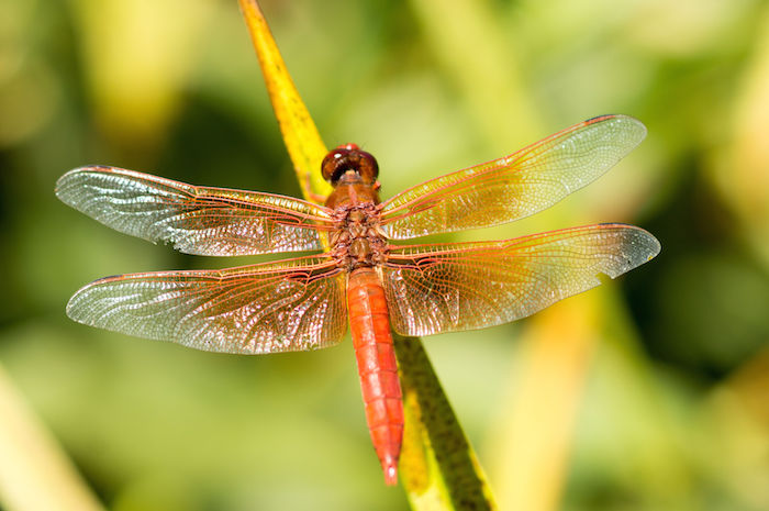 Dragonfly Totem Spirit Animal Meaning