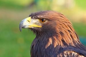 Eagle Spirit Animal