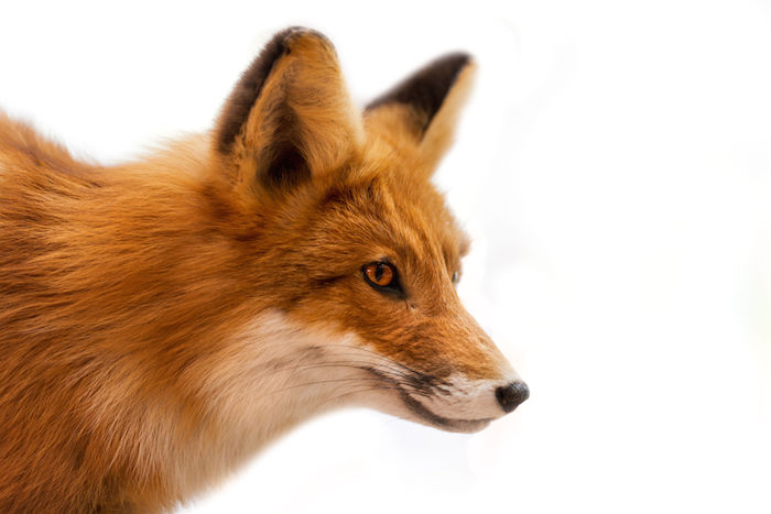 Fox Spirit Animal Meaning