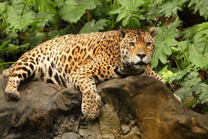 Jaguar spirit animal jaguar spirit animal voltagebd Gallery