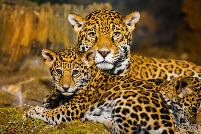 Jaguares Pinterest: Jaguar Spirit Animal