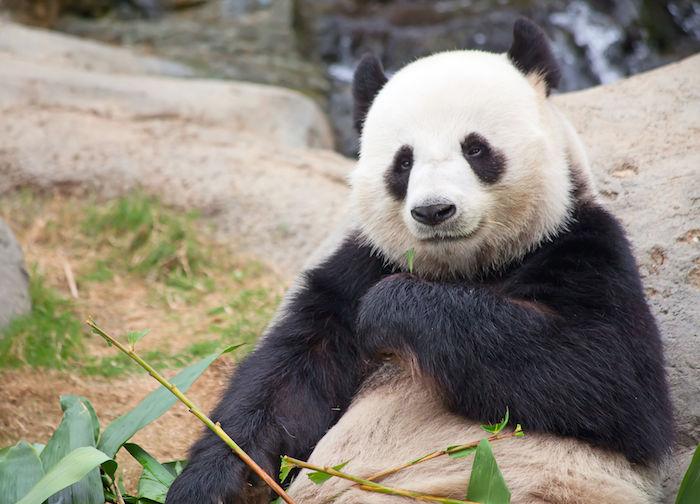 Panda Spirit Animal Totem Meaning