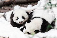 Panda Spirit Animal