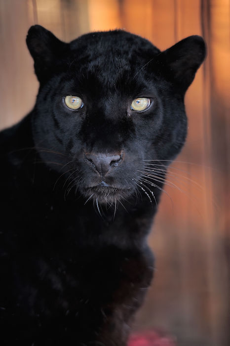 Black Dog Looks Like Panther