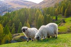 Sheep Spirit Animal