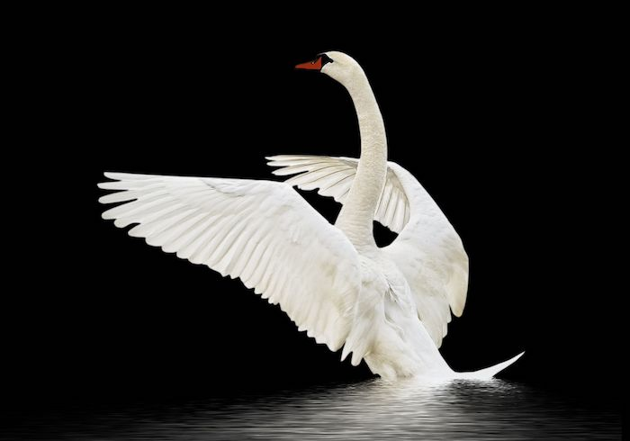 swan and shadow meaning
