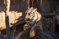 Tiger Spirit Animal