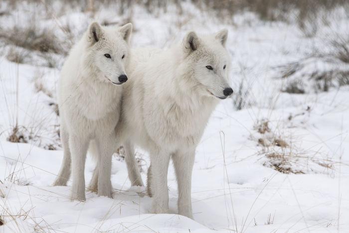 Wolf Spirit Animal Totem Meaning