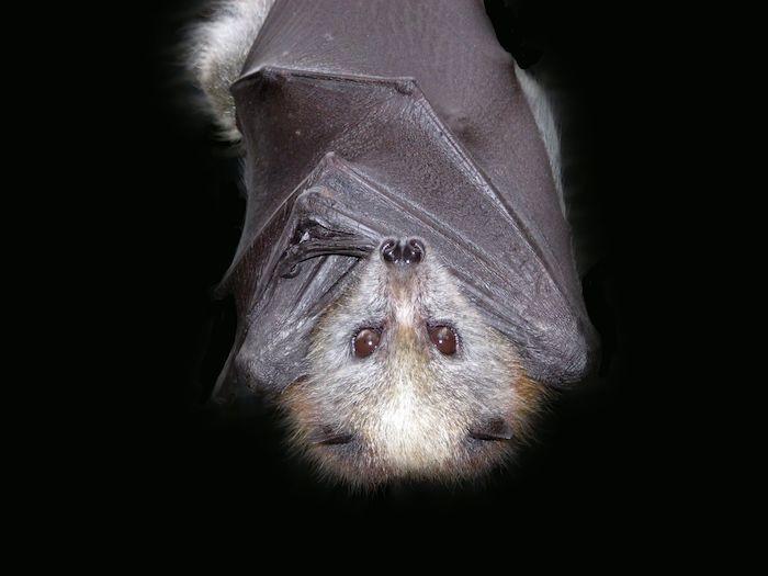 Bat Spirit Animal - Spirit Animal Info