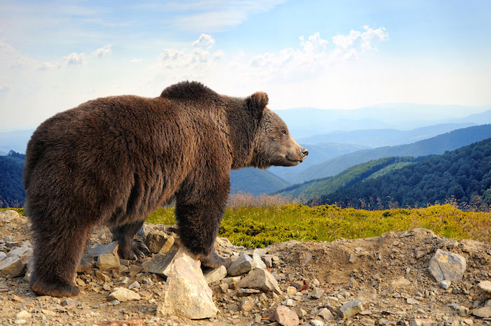 Bear Spirit Animal | Meaning