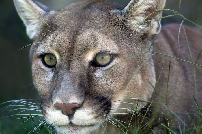 Cougar Spirit Animal - Spirit Animal Info
