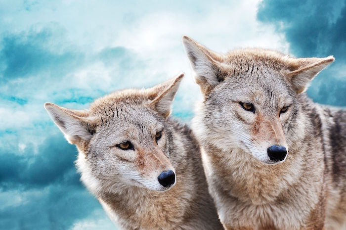Coyote Spirit Animal | Totem Meaning