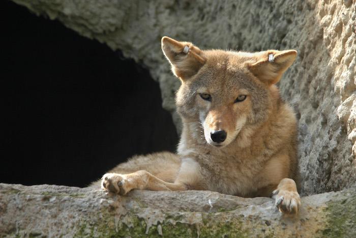 Coyote Spirit Animal | Totem Meaning