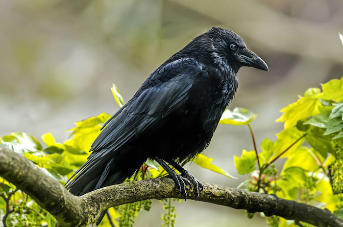 Crow Spirit Animal | Meaning & Symbolism