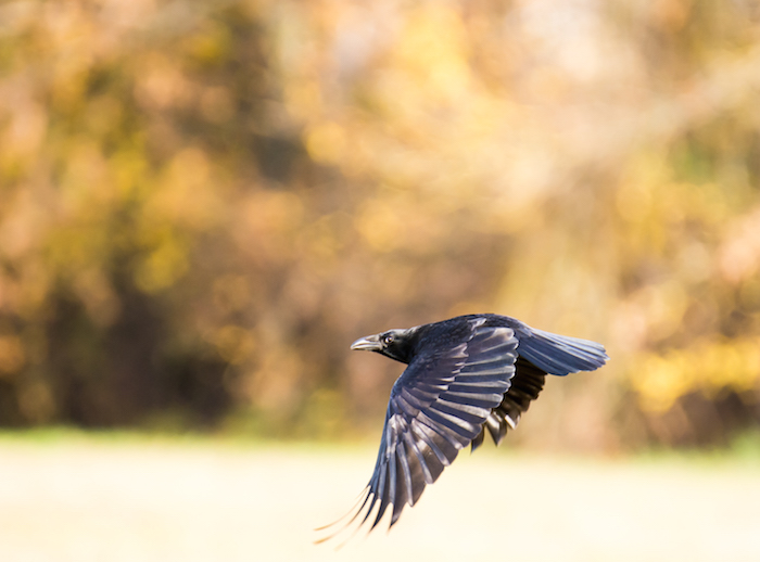 Crow Spirit Animal | Meaning & Symbolism