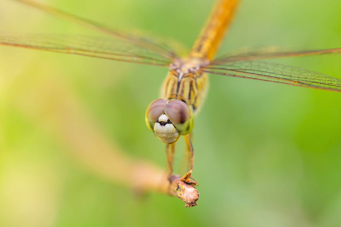 Dragonfly Spirit Animal