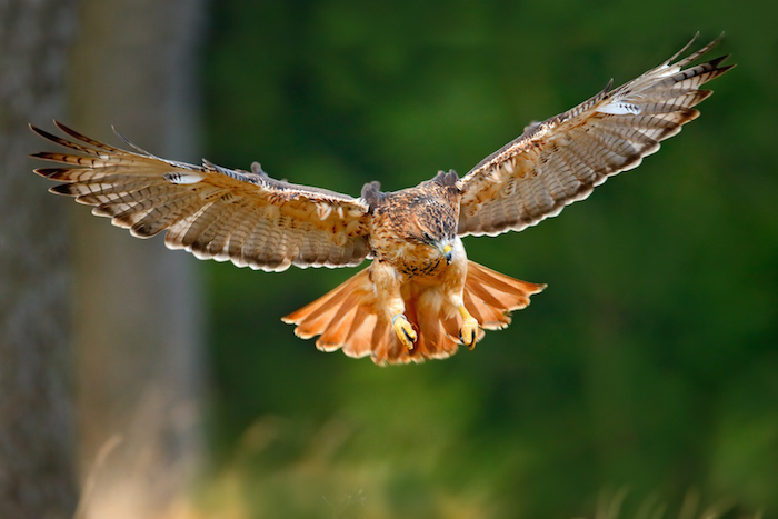 Hawk Spirit Animal Meaning
