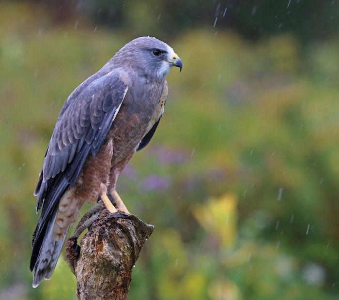 Hawk Spirit Animal | Meaning