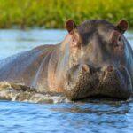 Hippopotamus Spirit Animal