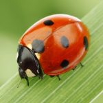 Ladybug Spirit Animal And Its Symbolism