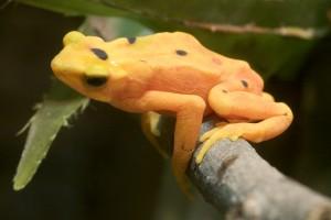 Panamanian Golden Frog - Atelopus Zeteki
