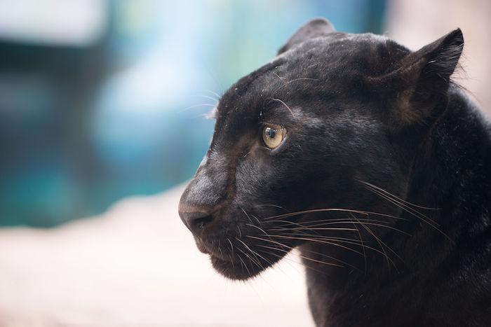 Panther Spirit Animal - Spirit Animal Info