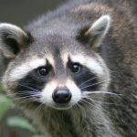 Raccoon Spirit Animal