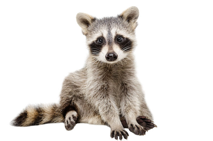 Raccoon Spirit Animal - Spirit Animal Info
