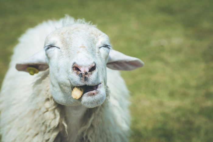 Sheep Spirit Animal