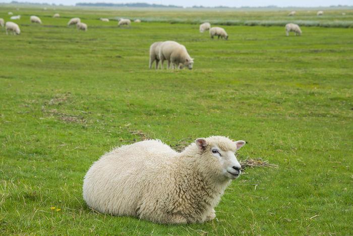 Sheep Spirit Animal   Meaning