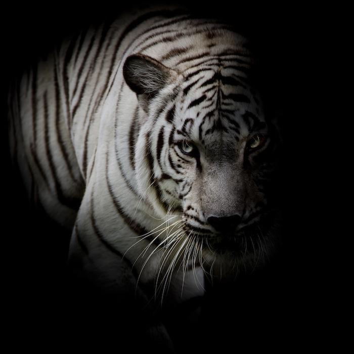 950bf9dec Tiger Spirit Animal | Totem Meaning