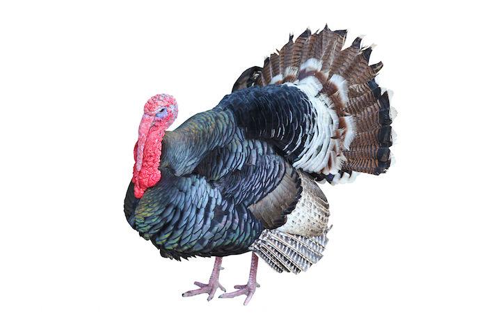 Turkey Spirit Animal