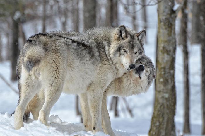 Wolf Spirit Animal | Totem Meaning