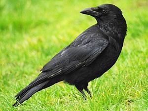 Crow Totem Animal