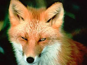 Fox Spirit Animal | Meaning