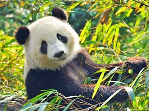 a646f6fd8871 Panda Spirit Animal