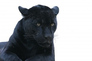 panther spirit animal