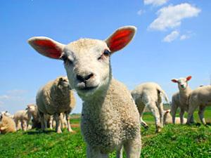 sheep totem