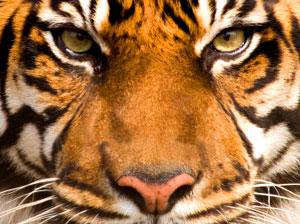 Tiger Spirit Animal | Totem Meaning